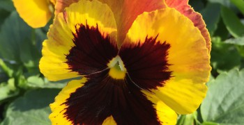Pansy in flower