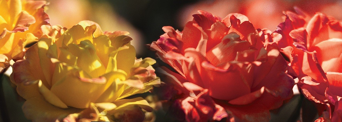 Roses banner 1170x419