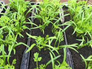 Vegetable plants in strips